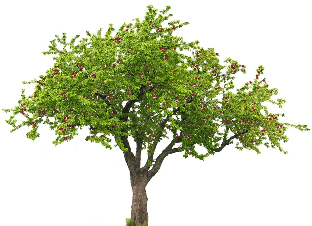 Cherrytree with green leaves and red cherries